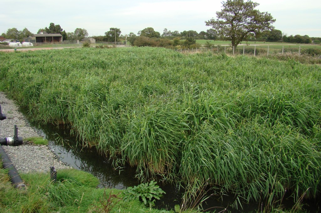 Reed Establishment in Reedbeds after 9 months