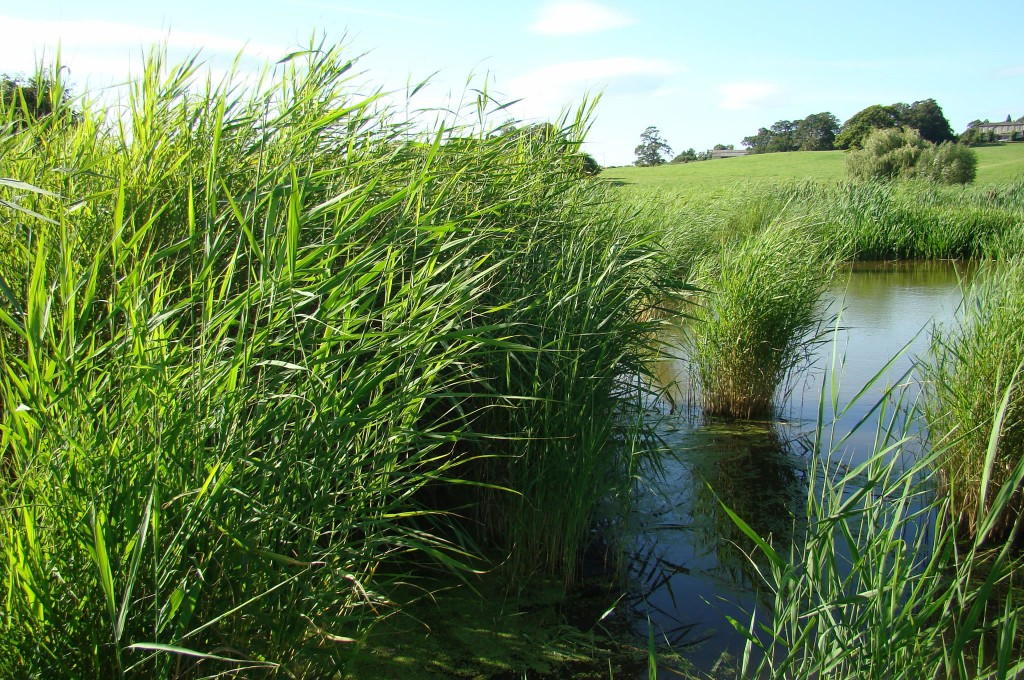Reed establishment after two years with open water habitat