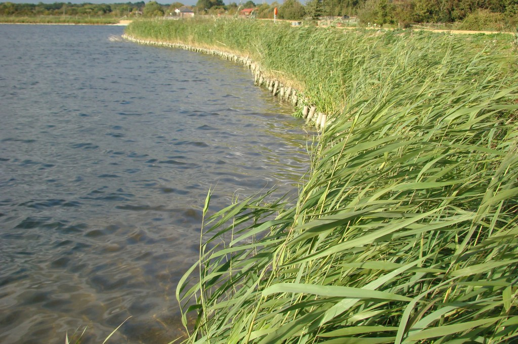 Reservoir Shoreline One Year Later With Excellent Reed Growth