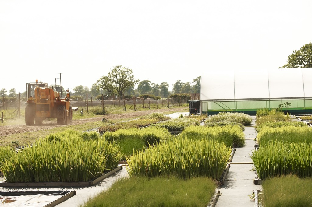Salix aquatic plant nursery