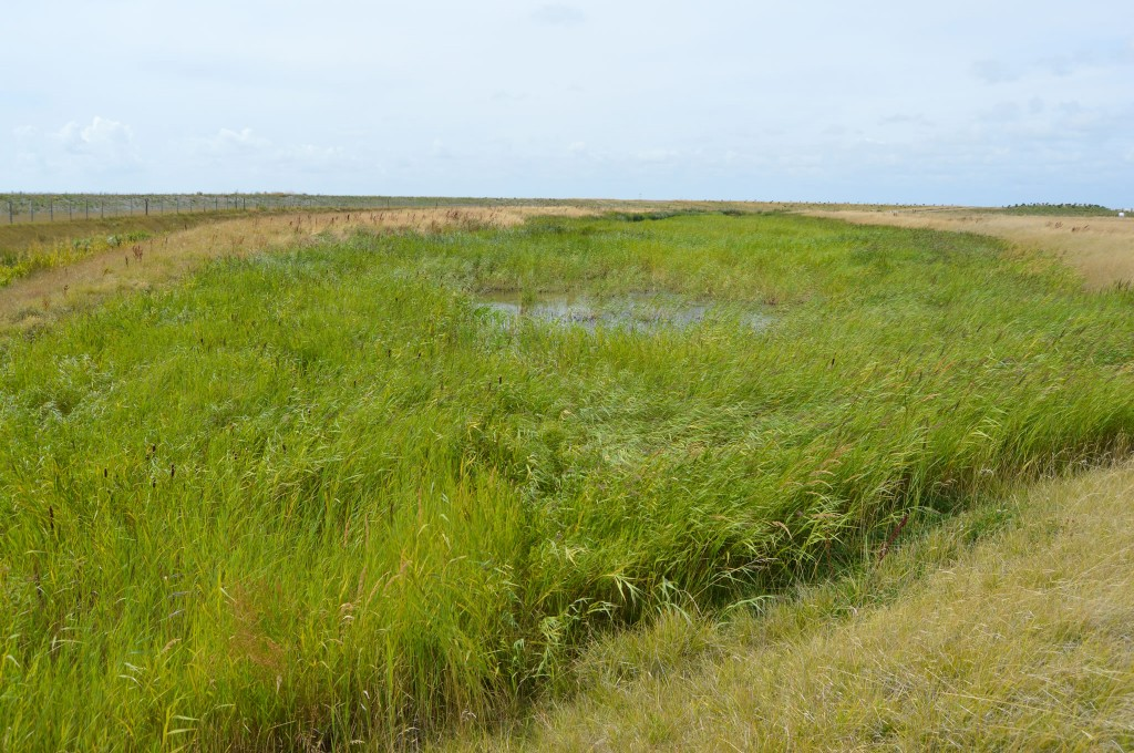 Reedbed planting after 12 months