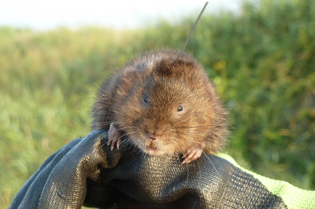 Water vole tagging Photo Courtesy of Rowenna Baker