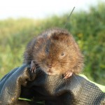 Watervole Tagging Photo Courtesy of Rowenna Baker