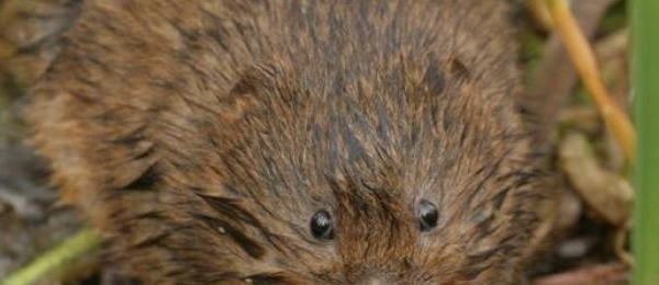 water-vole-phillip-precey-wildlife-trust