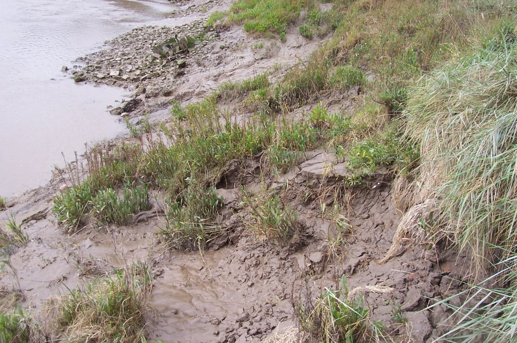 Typical erosion within an inter tidal river. The toe of the bank has been scoured and has subsequently steepened the upper bank which has slipped under gravity.