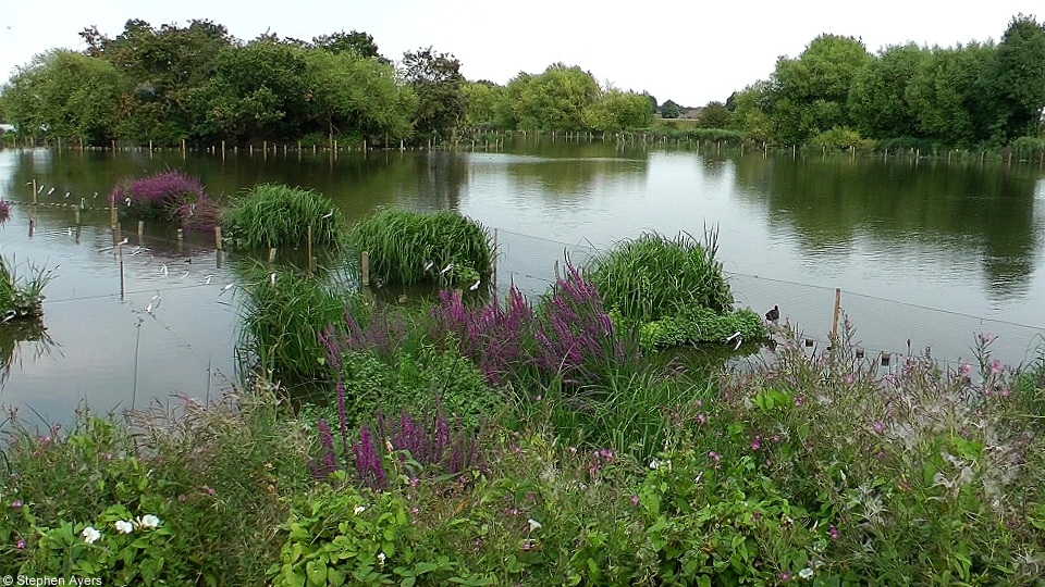 Walthamstow wetlands in bloom Aug 2016 by Steve Ayers