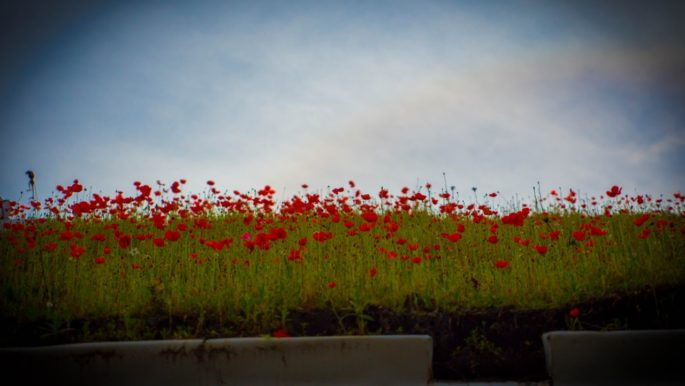 A perfect green roof covered in poppies