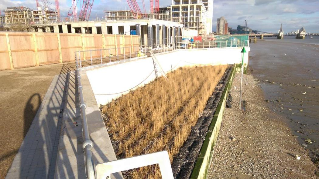 Royal Wharf reed bed just installed