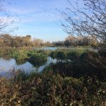 Walthamstow Wetlands reedbeds established 13 November 2017