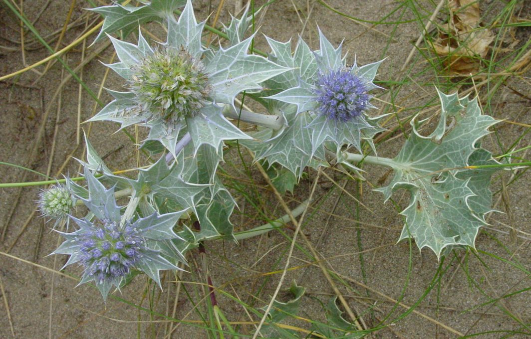Eryngium maritimum - sea holly
