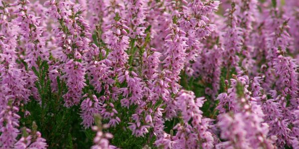 Calluna vulgaris (Heather)