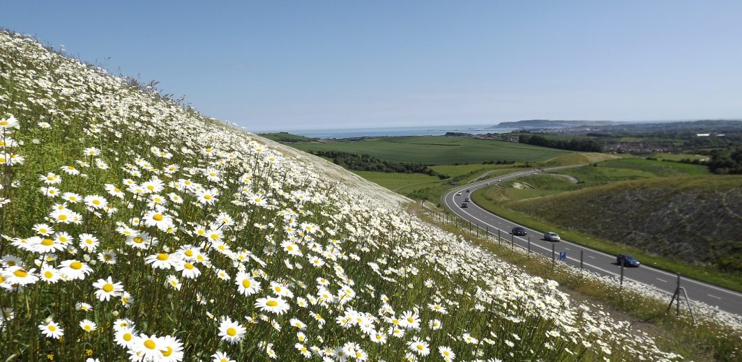 Green infrastructure road verge oxeye daisy Stephen Brown 2018